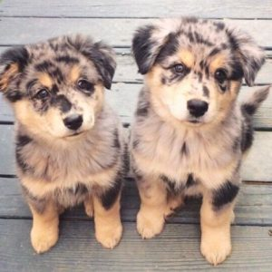 Australian-Shepherd-Puppies
