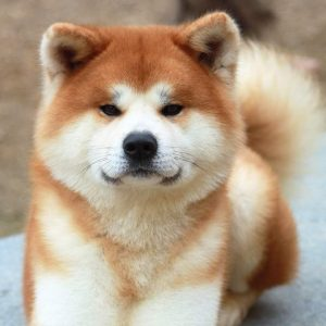 akita-puppies-breed