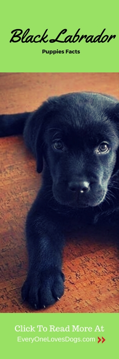 black labrador puppies facts