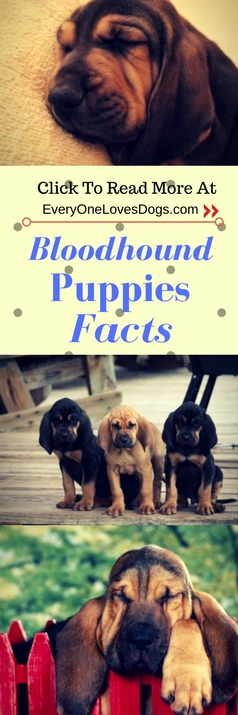 bloodhound puppies facts