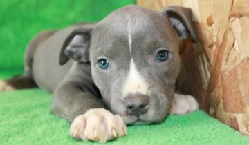 Blue pitbull puppies