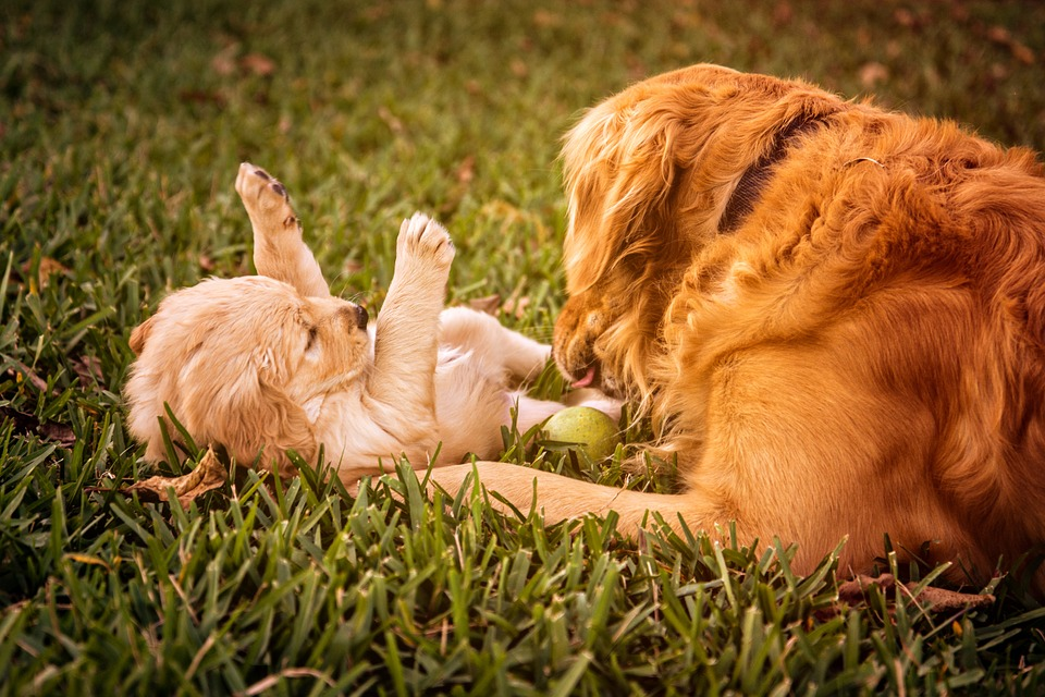 golden retriever care