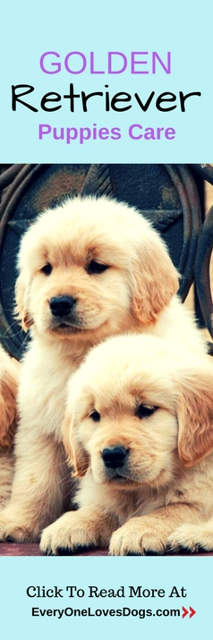 golden-retriever-puppies-care
