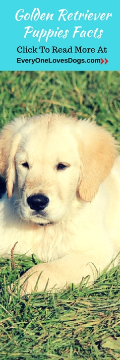 golden-retriever-puppies-facts