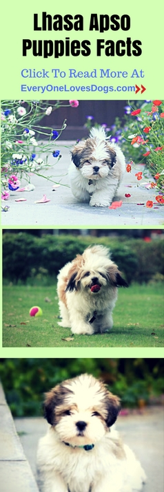 lhasa-apso-puppies-facts