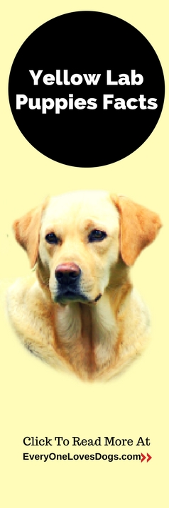 yellow-lab-puppies-facts