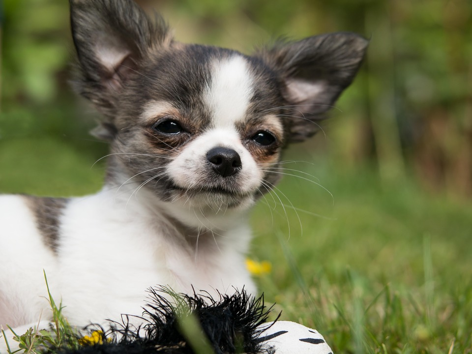 Chihuahua Puppies Facts