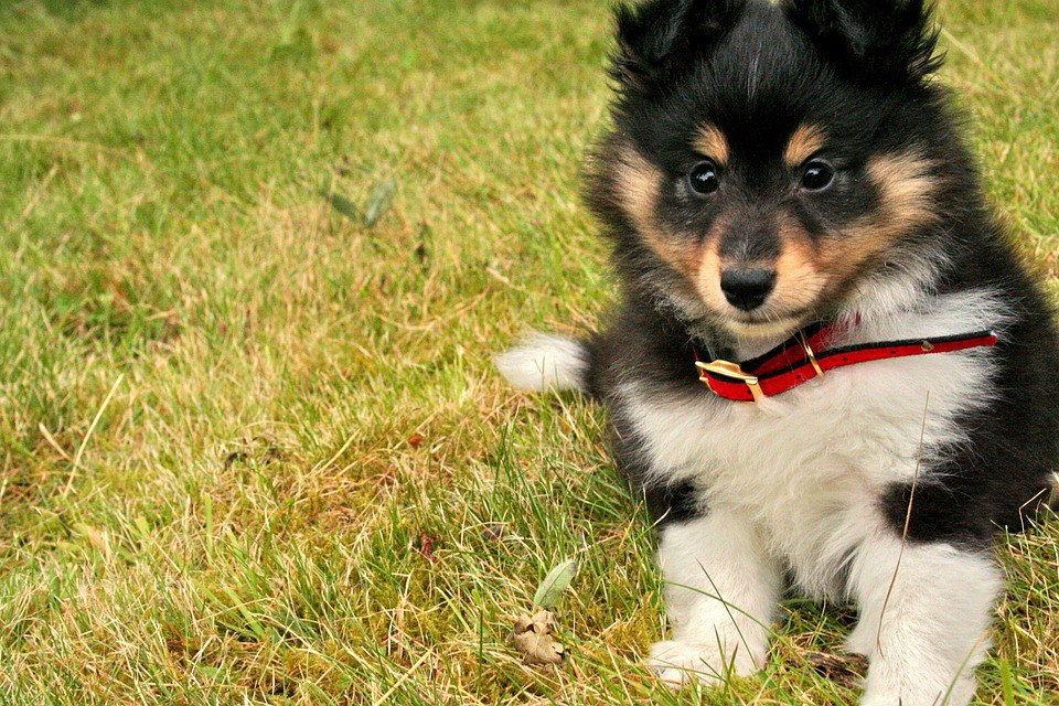 Sheltie Puppies Facts