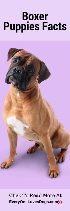 boxer-puppies-facts