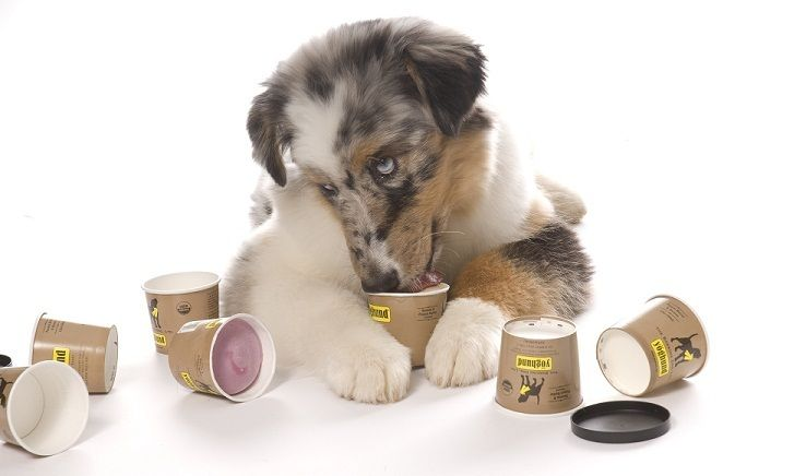 5 Natural Homemade Remedies for your Dog-s Health - Yogurt