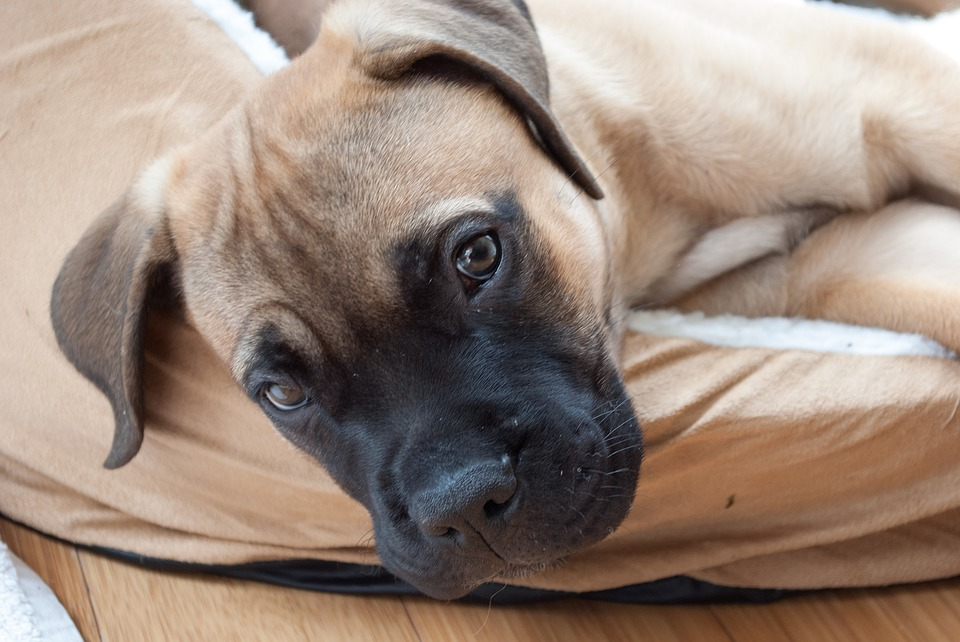 calm dog breeds - bullmastiff