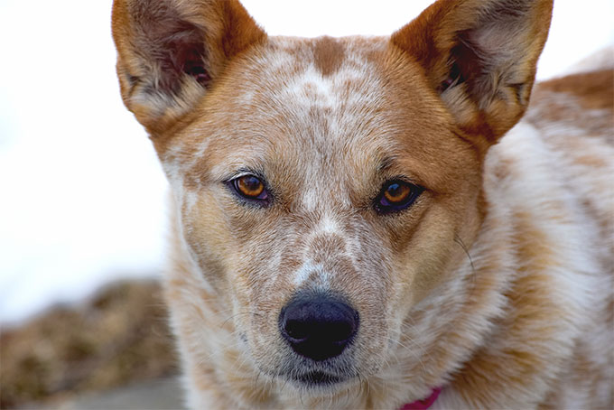 Red Australian Cattle Dogs For Sale