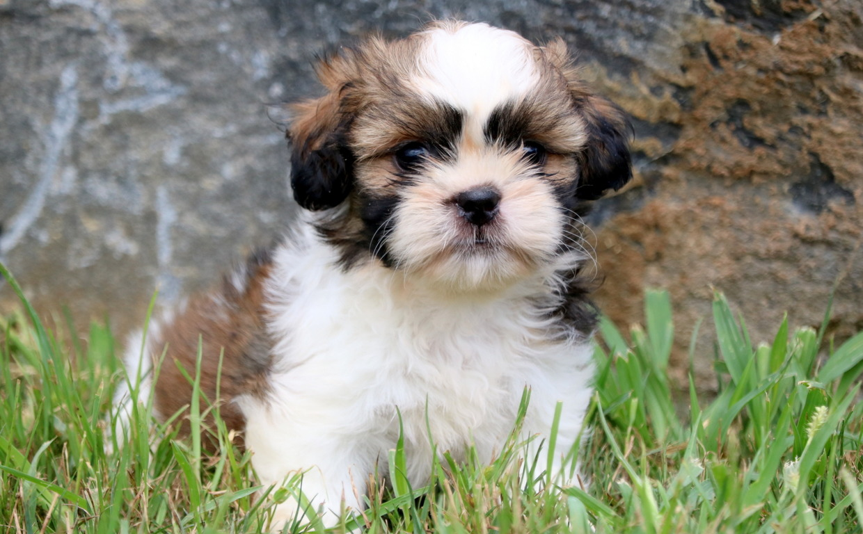 Do You Have A Shih Tzu Puppy Know How To Take Care Of It