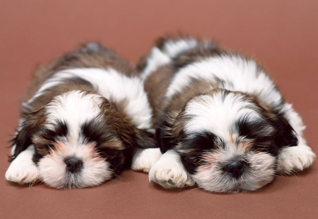 The Imperial And Tea Cup Shih Tzu