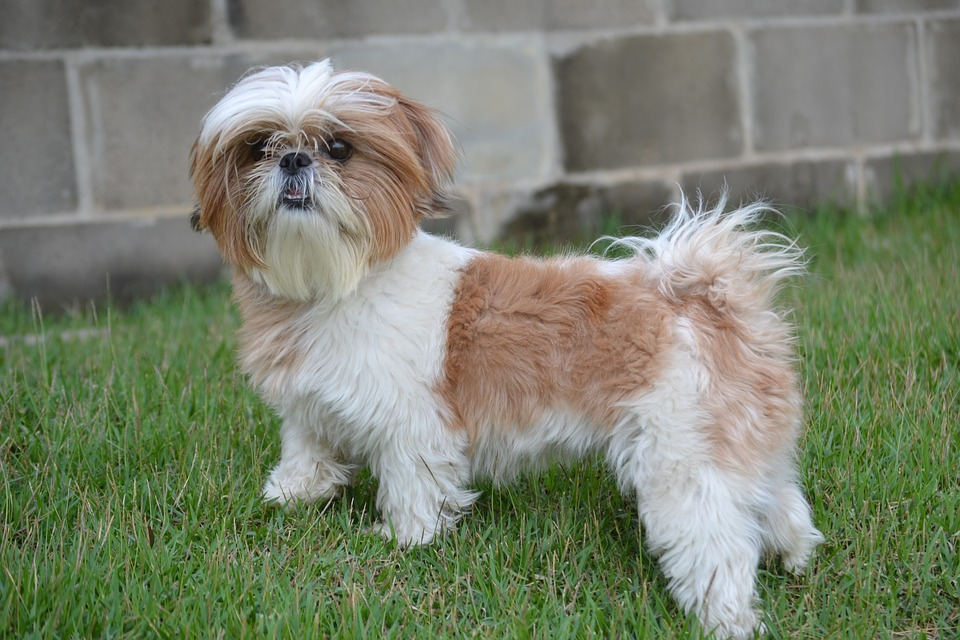Breeding Your Shih Tzu
