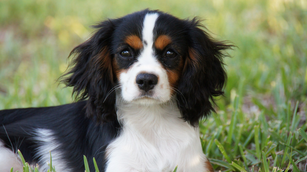 The charming cavalier king charles spaniel altavistaventures Images
