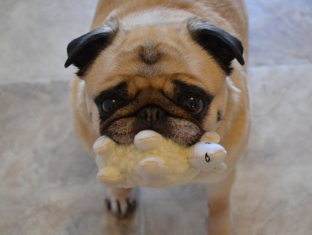 Buy A Pug But Only After Reading This