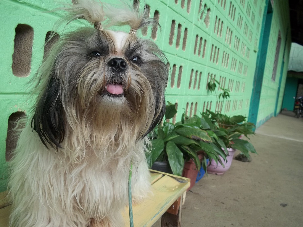 Fruits And Veggies You Can Give To Your Shih Tzu
